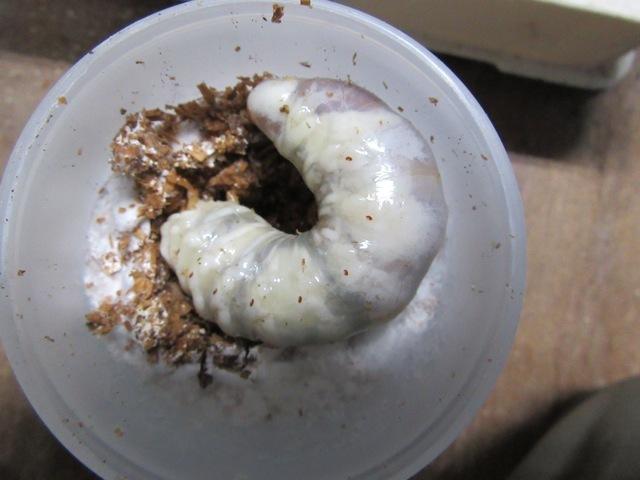 菌糸で育ったヒラタクワガタの幼虫
