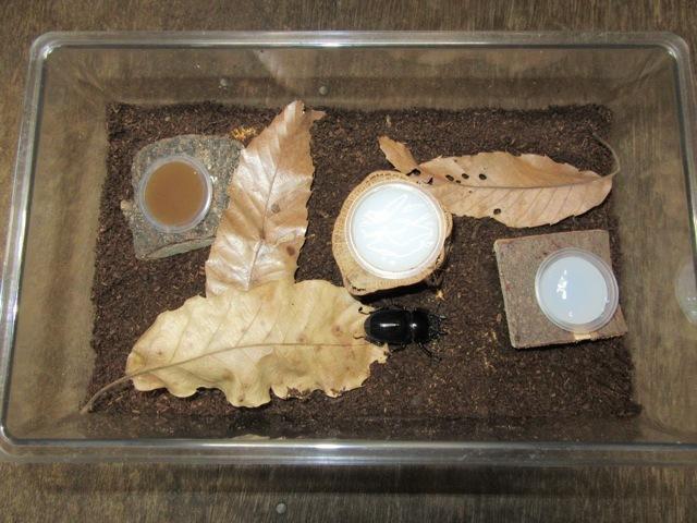 飼育ケース(中)のヒラタクワガタの産卵例
