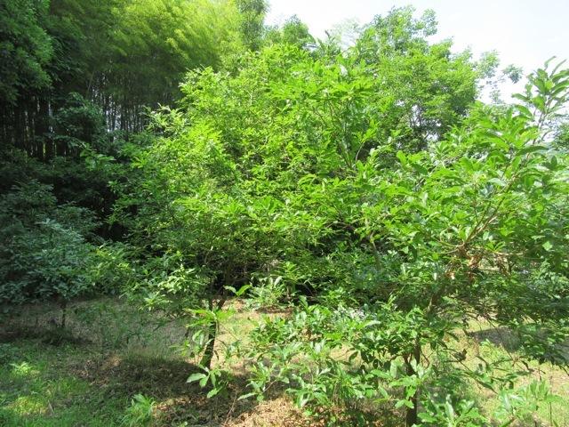 後から植えた木も大きく育ち始めました