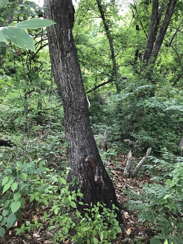 お客様がオオクワガタを採集された木です。