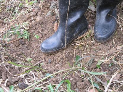 ドングリの苗木の周囲を足で固める