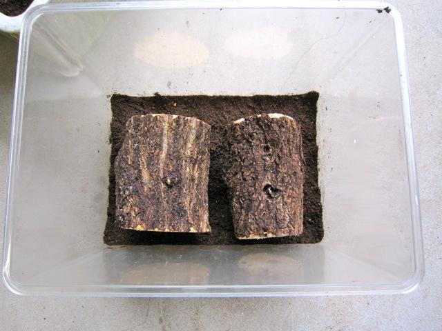 ミヤマクワガタの産卵セットに朽ち木を入れます