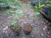 クヌギの苗木2ヶ月物