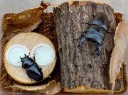 オオクワガタ、コクワガタの産卵方法