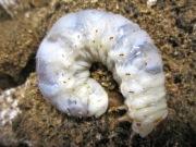 オオクワガタ幼虫飼育方法