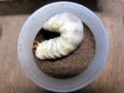 ヒラタクワガタ幼虫飼育方法
