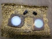 コクワガタの産卵方法