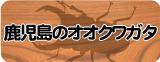 オオクワガタ販売(鹿児島県産)