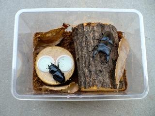 オオクワガタの産卵セットの例